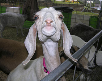 El Dorado County Fair - El Dorado County Fair Goat