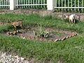 Goats Graze on Mass Gravesite Where 11000 Genocide Victims Are Interred - Karongi -Kibuye - Western Rwanda.jpg