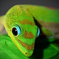Gold Dust Day Gecko closeup hawaii.jpg