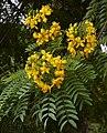 Gold Medallion tree (Cassia leptophylla) (19612483739).jpg