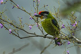 Golden-throated Barbet - Bhutan S4E0602 (15788610633).jpg