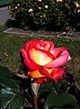 Golden Gate Park Rose Garden 4.jpg
