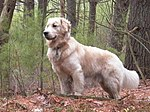 """A golden fluffy colored medium-size dog faces left in a woodland setting."""
