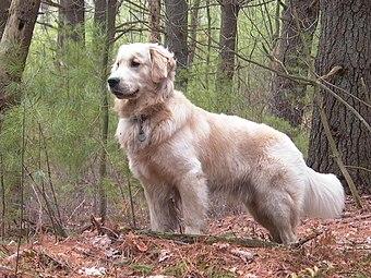 Golden Retriever - Wikiwand