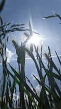 Grain stalk with backlight.JPG