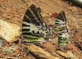 Graphium antiphates - Five-bar Swordtail 10.jpg
