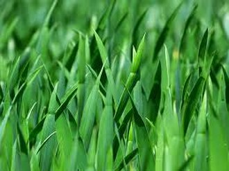 Poaceae - Blades of grass