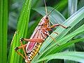 Grasshopper (20414276488).jpg