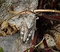 Grasshopper nymph, subfamily. Oedipodinae (44922708424).jpg