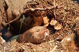 Ansell's mole-rat (Fukomys anselli)