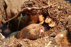 Ansell's mole-rat - Image: Graumull IMG 4039