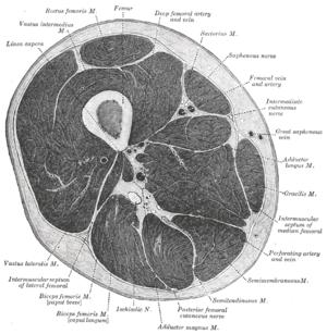 anatomi lår