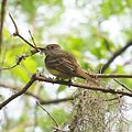Great-creasted Flycatcher (17158869365).jpg