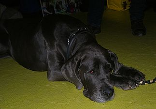 Great Dane black.JPG