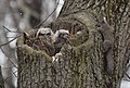 Great Horned Owl with two toddlers getting 'curiouser and curiouser' (33024095611).jpg