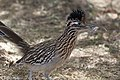 Greater Roadrunner Sweetwater Wetlands Tucson AZ 2018-02-13 11-31-22-2 (25392775847).jpg