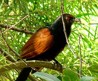 Green-billed coucal - Image: Green billed coucal