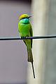 Green Bee-eater (Merops orientalis) in Tirunelveli.jpg