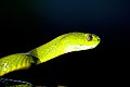 Green Cat Snake.jpg