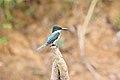Green Kingfisher (Chloroceryle americana) (5772366140).jpg