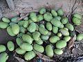 Green Mango in Terai.jpg