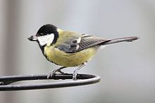 Green Tit - Feb 2010 (4377788123).jpg