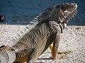 Green iguana (6980045564).jpg