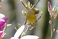 Greenfinch (Carduelis chloris) (17023483830).jpg