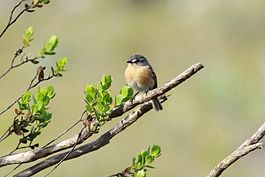 Grey-backed Tachuri.jpg