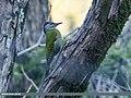 Grey-headed Woodpecker (Picus canus) (27812377339).jpg