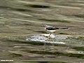 Grey Wagtail (Motacilla cinerea) (27955624024).jpg