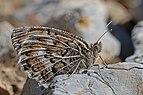 Grey asian grayling (Pseudochazara geyeri) Macedonia.jpg