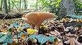 Gronsveld-paddenstoelen in het Savelsbos (1).jpg