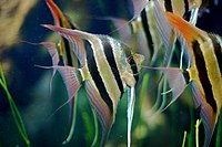 Group of Pterophyllum Altum