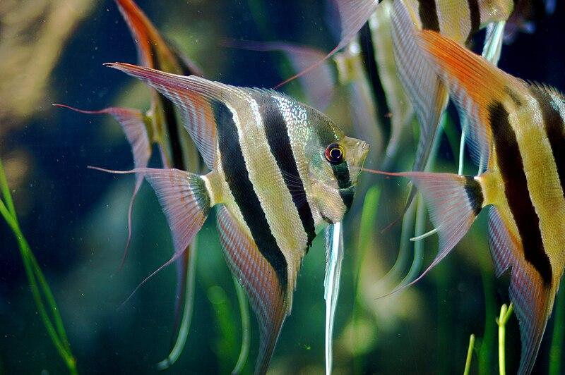 Freshwater Angelfish Unique Traits Of A Common Aquarium Fish