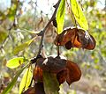 Gymnosporia tenuispina, droë vrugte, Eugene Marais Park.jpg