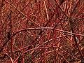 H20140206-0375—Cornus sericea ssp sericea—RPBG (12400171395).jpg