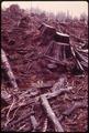 HAND PLANTED DOUGLAS FIRS IN OLYMPIC NATIONAL TIMBERLAND WASHINGTON. NEAR OLYMPIC NATIONAL PARK - NARA - 555092.tif