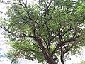 HK 灣仔區 Wan Chai District 銅鑼灣 Causeway Bay 摩頓台 Moreton Terrace tree crown May 2019 SSG 03.jpg