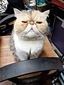 HK HH 紅磡 Hung Hom 異國長短毛貓 Exotic Shorthair bleed cat November 2020 SS2 01.jpg