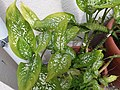 HK Mid-levels High Street clubhouse green leaves plant February 2019 SSG 10.jpg