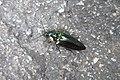 HK Sheung Wan Lok Ku Road 昆蟲 Insect black deep green June 2018 IX2 01.jpg