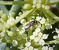 Halictidae sub genus Seladonia (26114778948).jpg