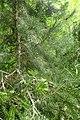 Halocarpus kirkii kz7.jpg