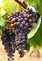 Hamvas grape cluster.jpg