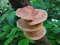 Hapalopilus nidulans G7 (1).JPG