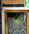 Happy young Red Squirrel (4695604291).jpg