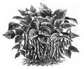 Haricot flageolet très hâtif d'Étampes Vilmorin-Andrieux 1883.png