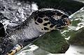 Hawksbill-sea-turtle2(js).jpg
