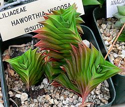 Haworthia viscosa